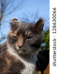 Small photo of A cat with the disfigured ear condition, Aural haematoma, cauliflower ear.