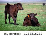 Two Cute Calves Out In The...