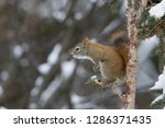 american red squirrel ... | Shutterstock . vector #1286371435