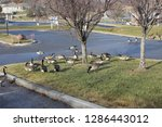Hungry Canada Geese In Office...