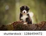 Stock photo puppy discover the world australian shepherd puppy 1286454472