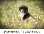 Stock photo puppy discover the world australian shepherd puppy 1286454478