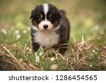 Stock photo puppy discover the world australian shepherd puppy 1286454565
