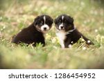 Stock photo puppies discover the world australian shepherd puppies age weeks 1286454952