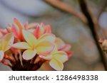 frangipani or plumeria or... | Shutterstock . vector #1286498338