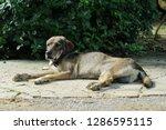 old dogs sunbathing | Shutterstock . vector #1286595115