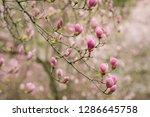 amazing purple magnolia flowers ...   Shutterstock . vector #1286645758