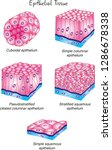 different types of epithelial... | Shutterstock .eps vector #1286678338