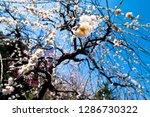 plum blossoms around osaka... | Shutterstock . vector #1286730322