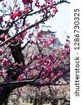 plum blossoms around osaka... | Shutterstock . vector #1286730325