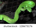 snake (green pit viper) - stock photo
