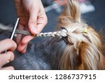 pet groomer braids yorkshire... | Shutterstock . vector #1286737915
