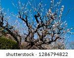 plum blossoms around osaka... | Shutterstock . vector #1286794822