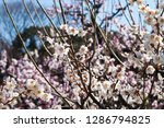 plum blossoms around osaka... | Shutterstock . vector #1286794825
