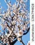 plum blossoms around osaka... | Shutterstock . vector #1286794828