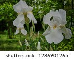 Blooming White Irises On A...