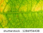 close up yellow vein leaf... | Shutterstock . vector #1286956438