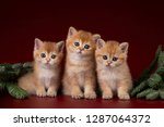 Stock photo golden british kitten on a burgundy background with fir branches 1287064372