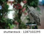 A White Faced Scops Owl ...