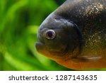 big head predator fish piranha... | Shutterstock . vector #1287143635