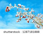 a snowy branch of hawthorn on... | Shutterstock . vector #1287181888
