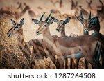 group of impala antelopes...   Shutterstock . vector #1287264508