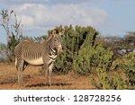 Grevy's Zebra And Euphorbia...