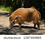 side view of red river hog... | Shutterstock . vector #1287304885