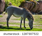 side view of a backlit grevy's... | Shutterstock . vector #1287307522
