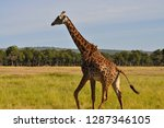 side view of a isolated giraffe ... | Shutterstock . vector #1287346105