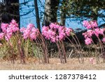 naked lady  amaryllis... | Shutterstock . vector #1287378412