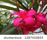 pink frangipani is beautiful ... | Shutterstock . vector #1287433855