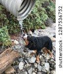 bernese mountain dog drinking... | Shutterstock . vector #1287536752