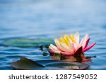 light pink of water lily or... | Shutterstock . vector #1287549052
