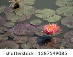 light pink of water lily or... | Shutterstock . vector #1287549085