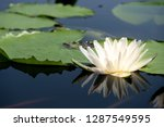 beautiful white of water lily... | Shutterstock . vector #1287549595