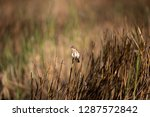 adult male eastern stonechat ... | Shutterstock . vector #1287572842