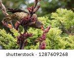 a kea  an alpine parrot ...   Shutterstock . vector #1287609268