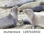 two female elephant seals... | Shutterstock . vector #1287618532