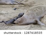 female elephant seal with... | Shutterstock . vector #1287618535