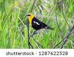 a male yellow headed blackbird... | Shutterstock . vector #1287622528