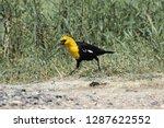 a male yellow headed blackbird... | Shutterstock . vector #1287622552