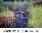 both of chinese pond heron ... | Shutterstock . vector #1287667042