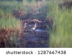 both of chinese pond heron ... | Shutterstock . vector #1287667438