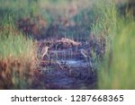 both of chinese pond heron ... | Shutterstock . vector #1287668365