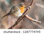 robin bird erithacus rubecula... | Shutterstock . vector #1287774745