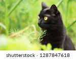 bombay black cat portrait...   Shutterstock . vector #1287847618