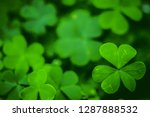 Small photo of Green clover leaf for green background. with three-leaved shamrock . St. Patrick's day vacation and holiday clovers symbol.
