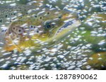 the atlantic salmon  salmo... | Shutterstock . vector #1287890062