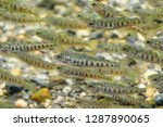the atlantic salmon  salmo... | Shutterstock . vector #1287890065